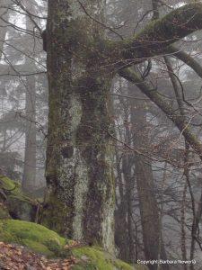 Wächterbaum auf dem Weg zum Jardin des Fées